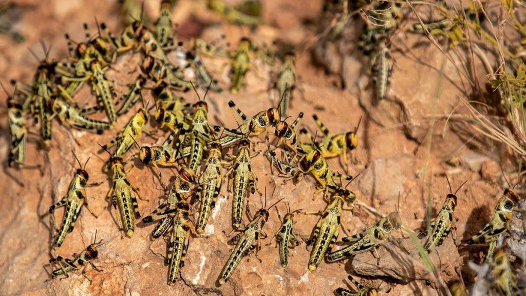 Uganda on alert as desert locusts remain active in neighboring Kenya